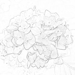 Chamomile - Coloring page