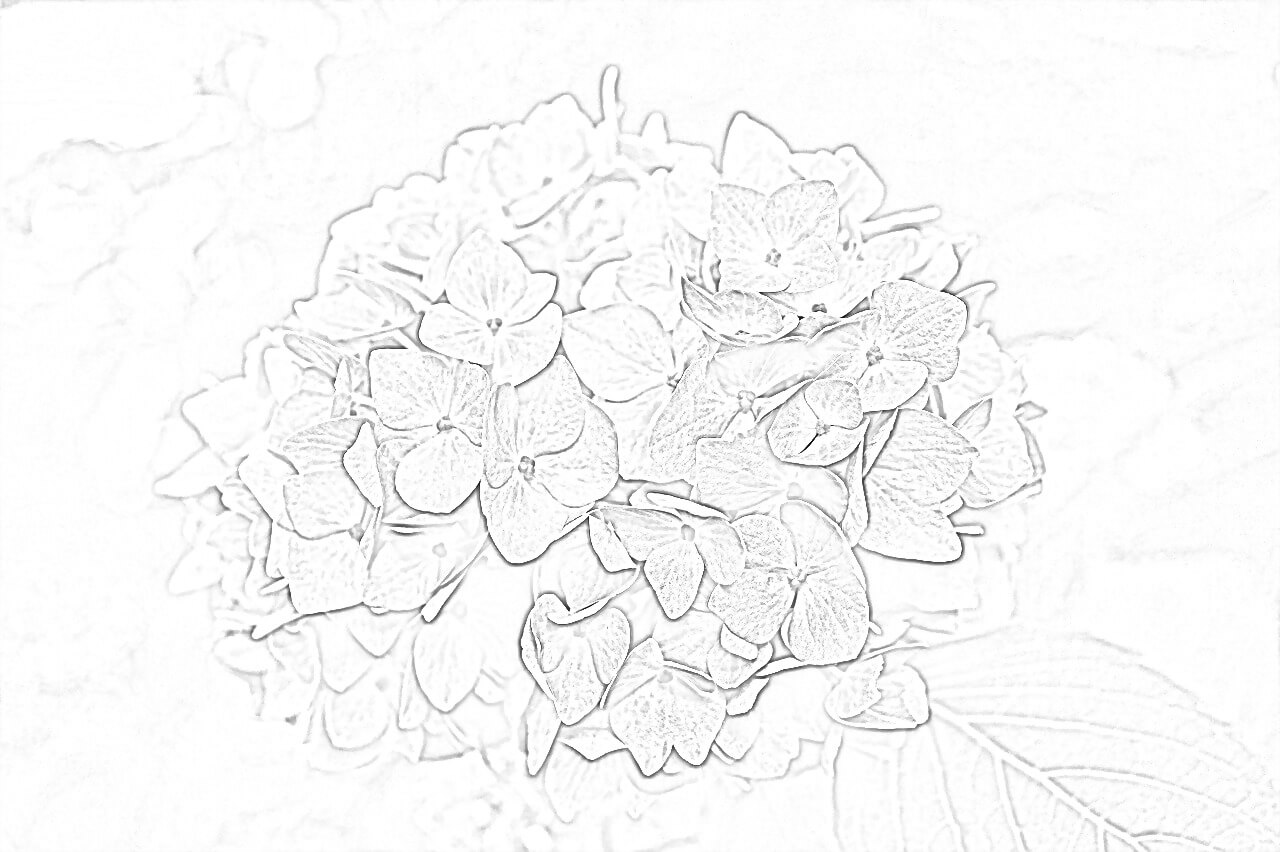 Hydrangea Flower Coloring Page