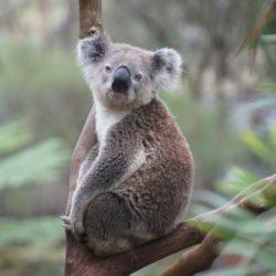 Koala - Origin image
