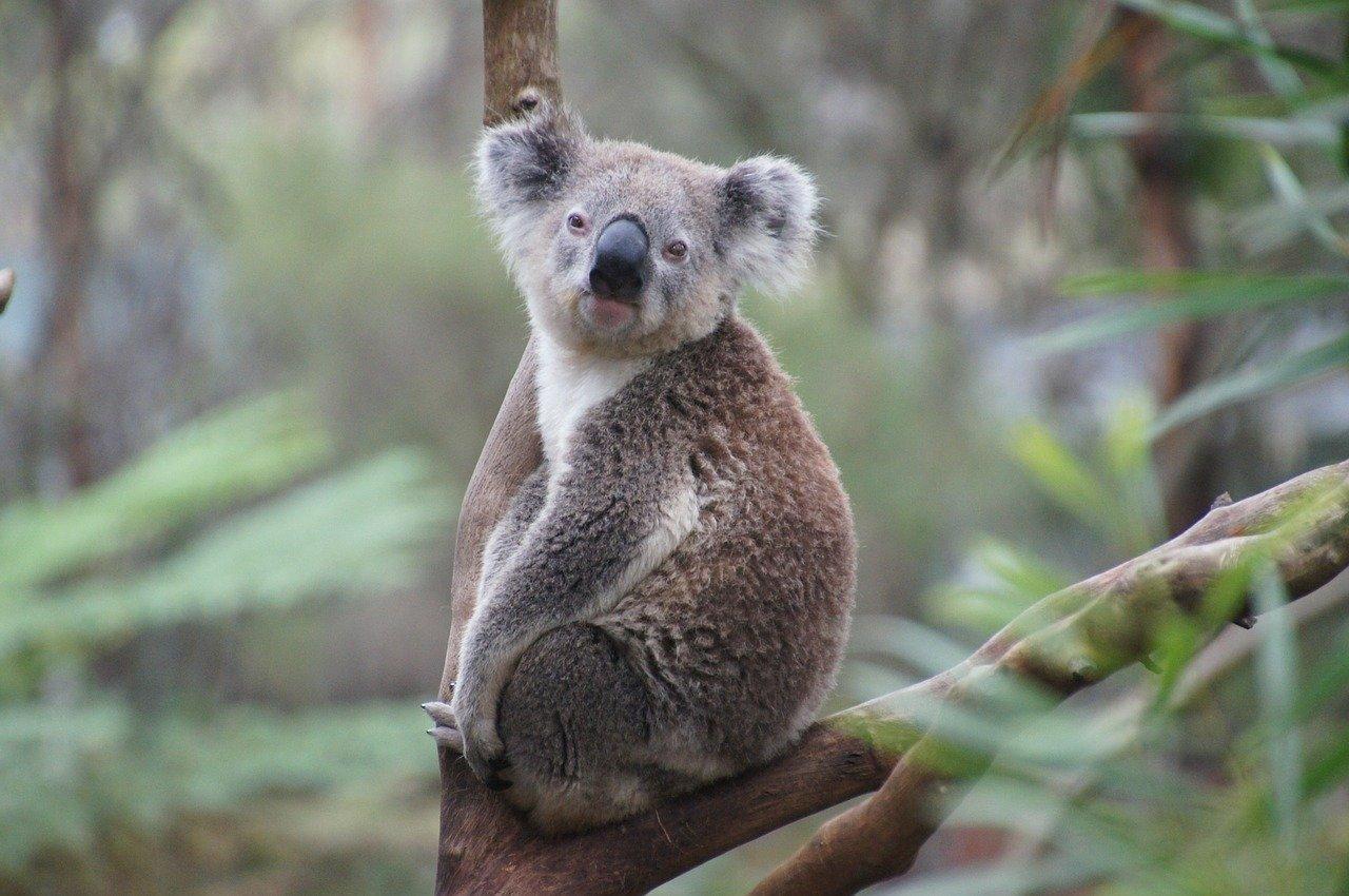 Koala - Original image