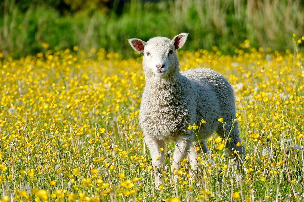 Lamb - Original image
