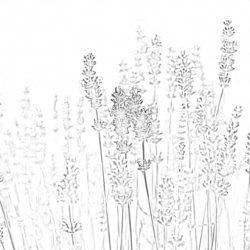 Lavender - Coloring page