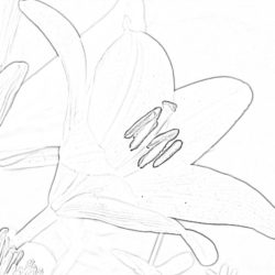 Crocus flowers - Coloring page