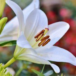 Lily - Origin image