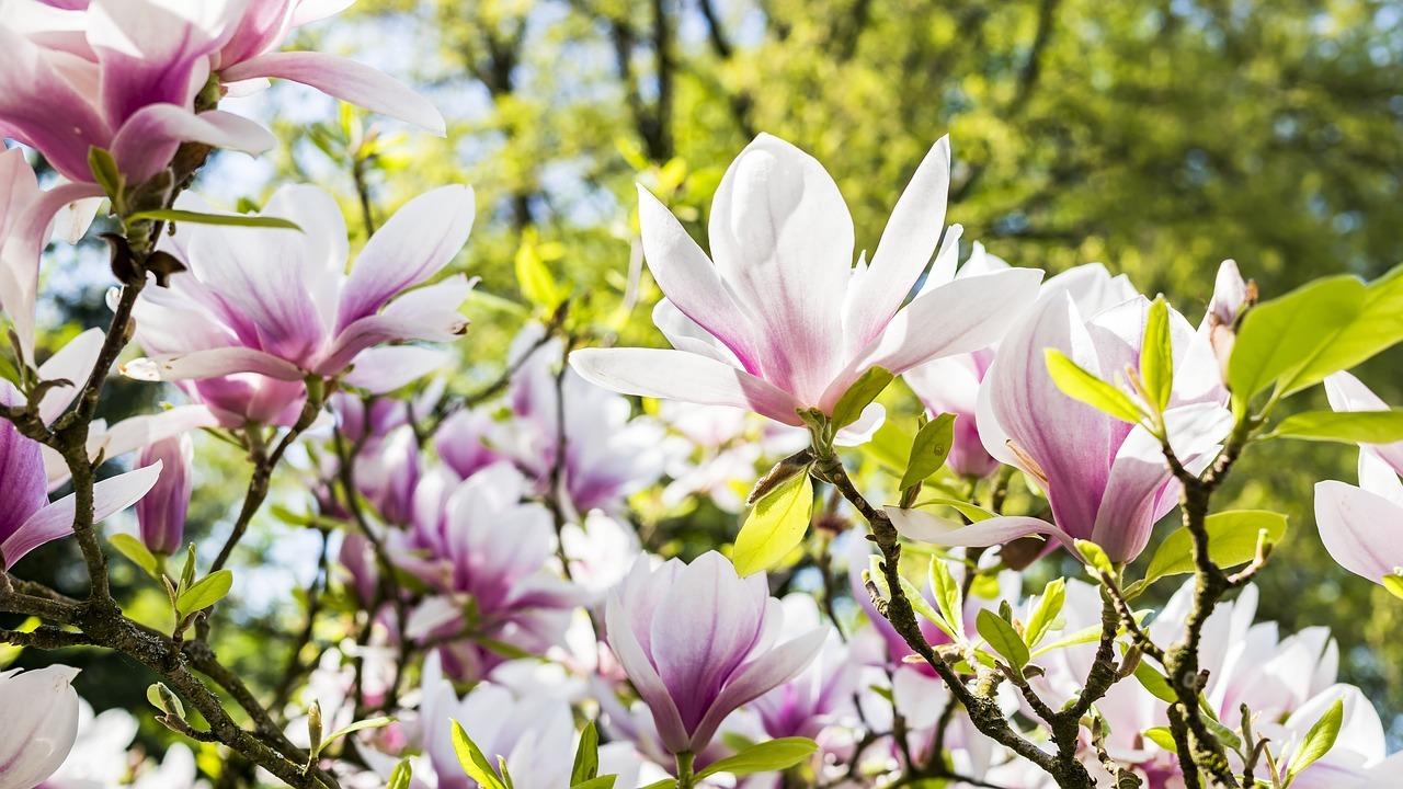 Magnolia - Original image
