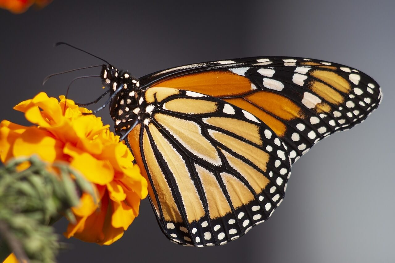 Monarch Butterfly - Original image