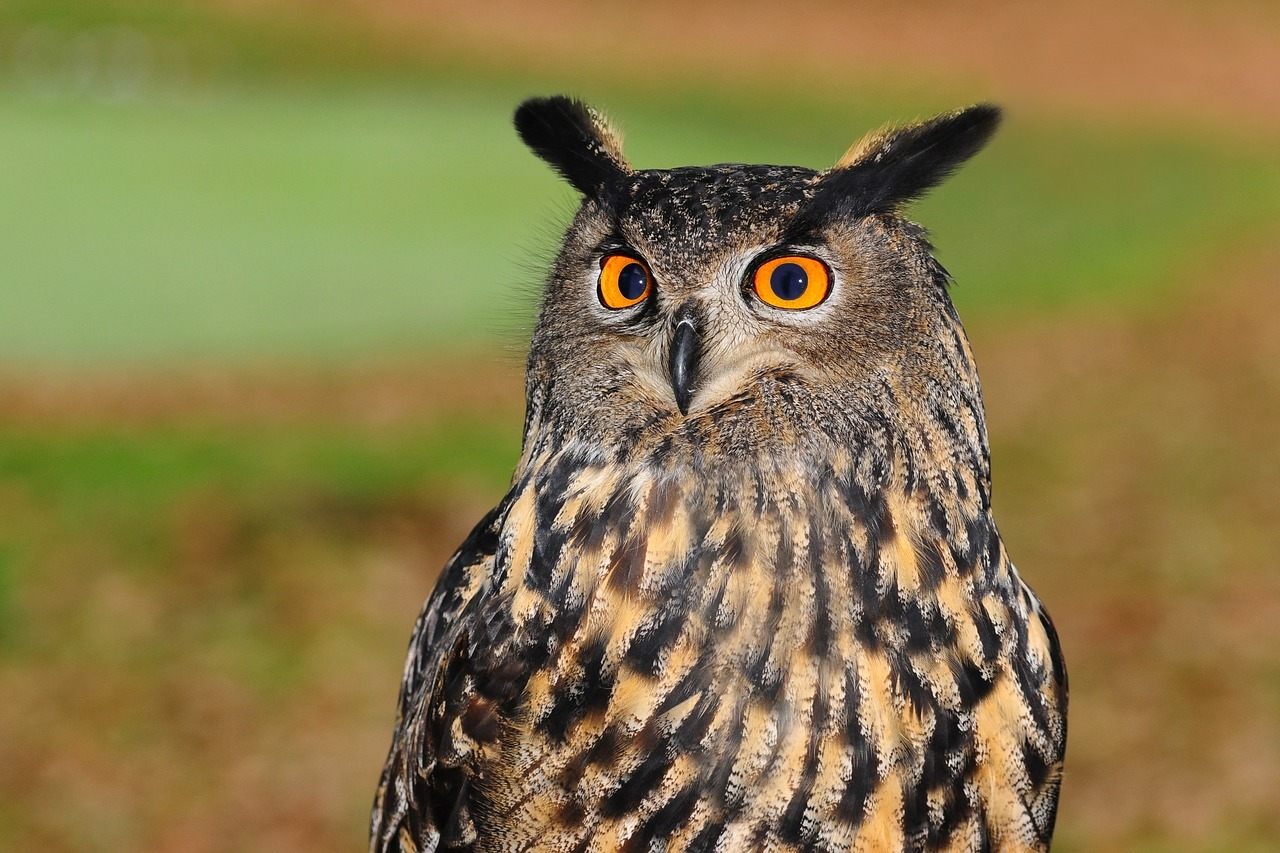 Owl - Original image