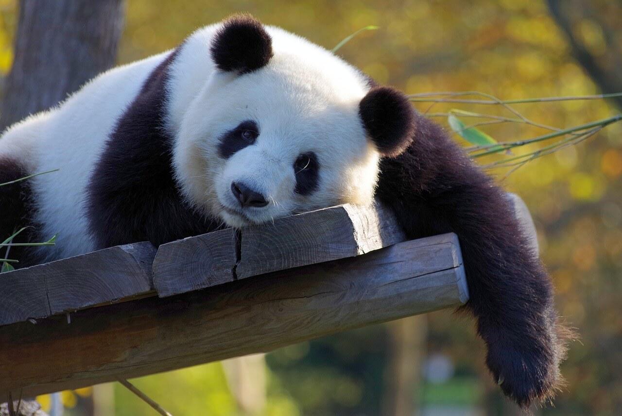 Panda - Original image