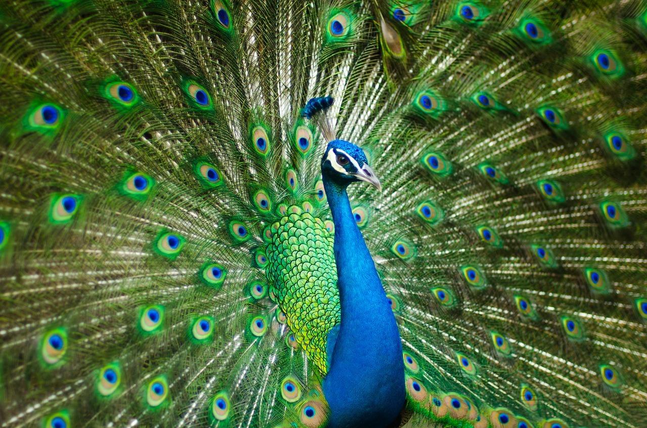 Peacock - Original image