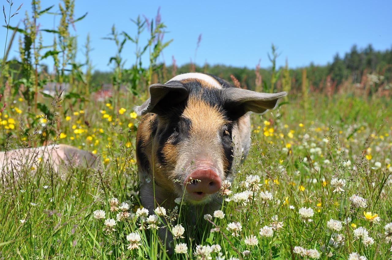 Pig - Original image