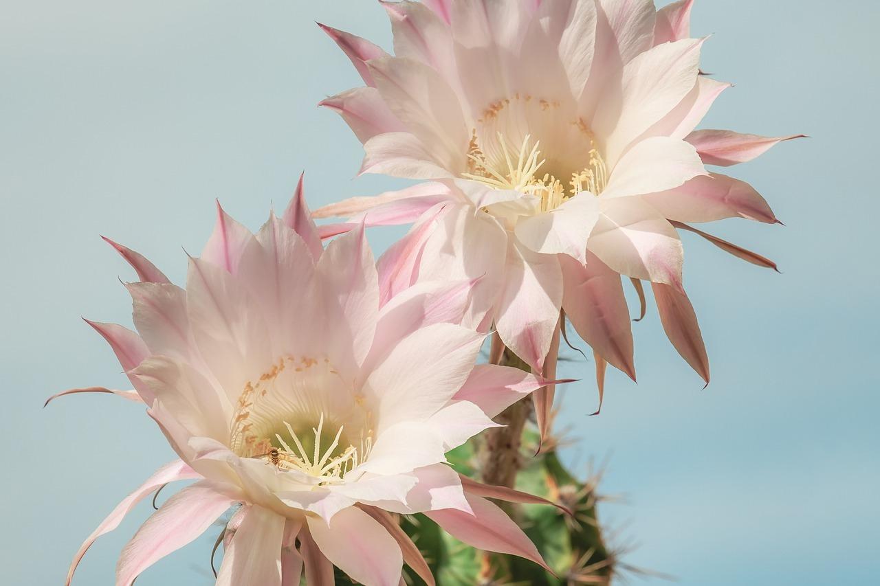 Queen of the Night Cactus - Original image