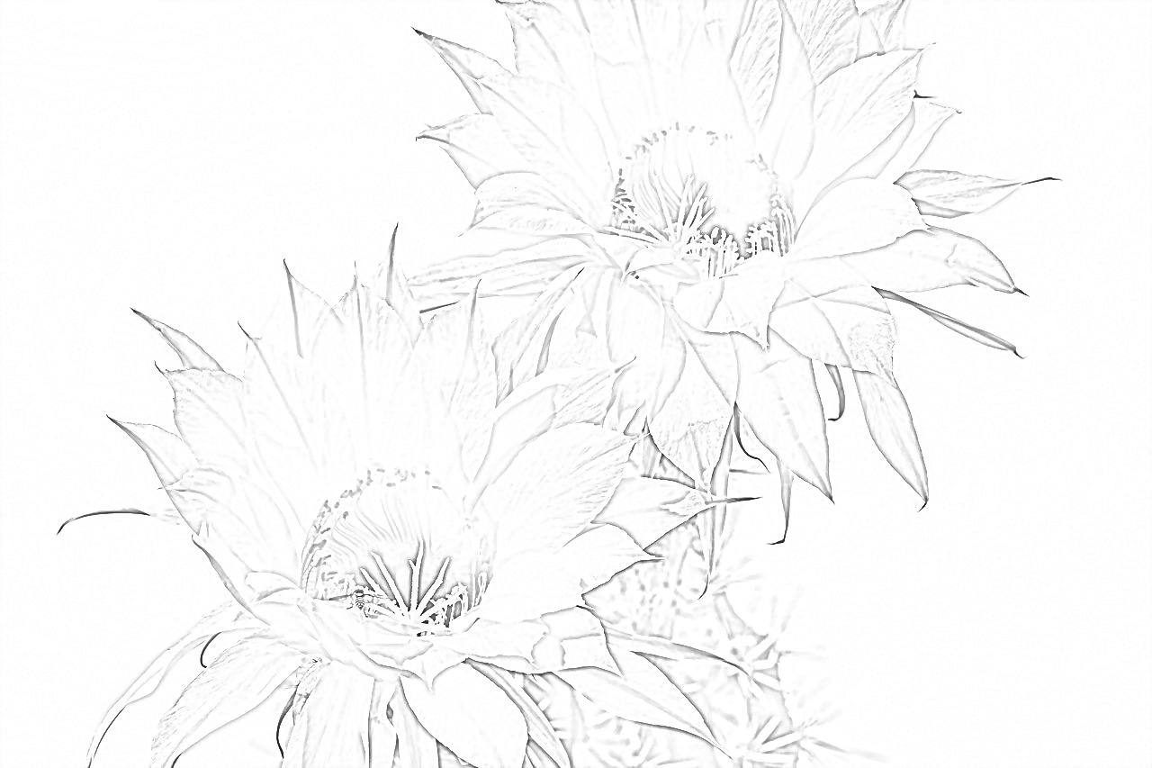 Queen of the Night cactus coloring page