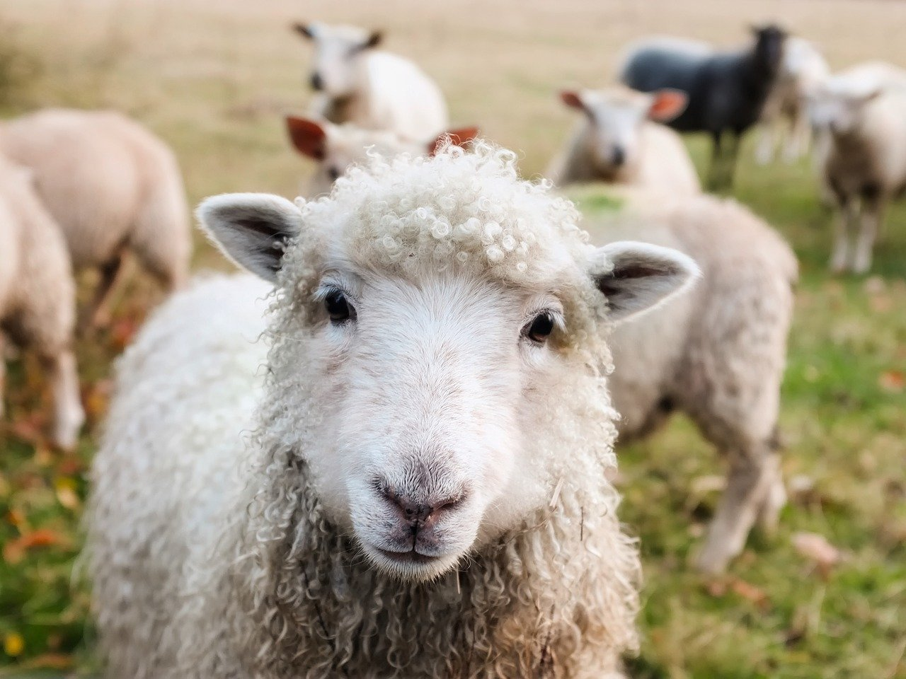 Sheep - Original image